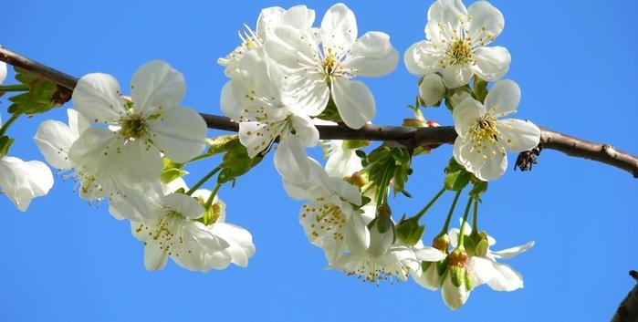 Способы защиты цвета вишни от заморозка