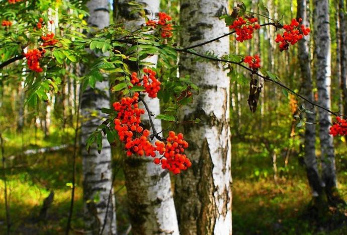 рябина в лесу