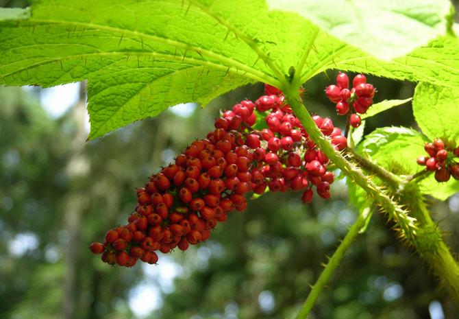 Эхинопанакс – полезные свойства и применение