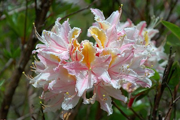 Азалия - праздничное растение