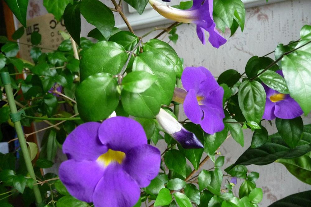 Тунбергия: выращивание и уход