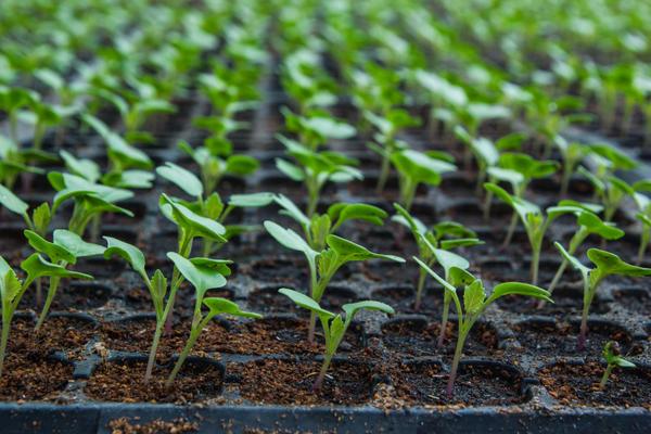 Выращивание рассады цветной капусты