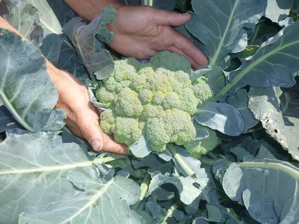Когда сажать рассаду капусты брокколи