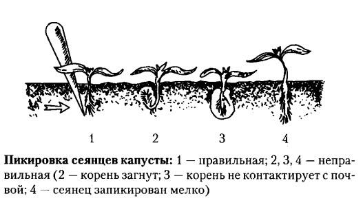 пикировка рассады брокколи