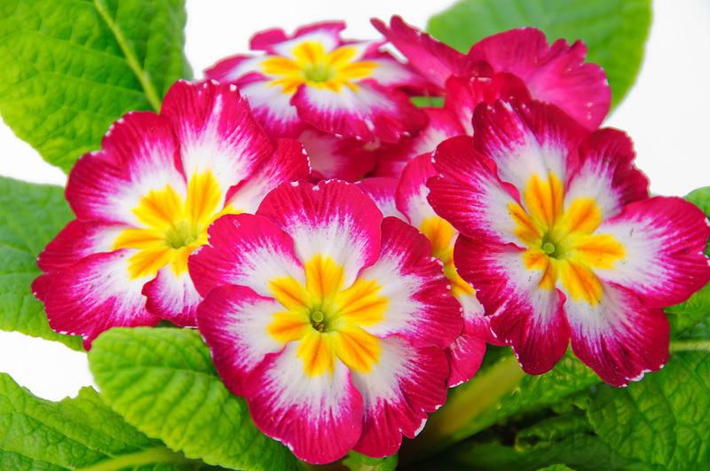 Цветок примула – группы и виды примул.
