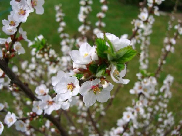 цветущая Вишня войлочная