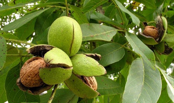 Грецкий орех - свойства и описание