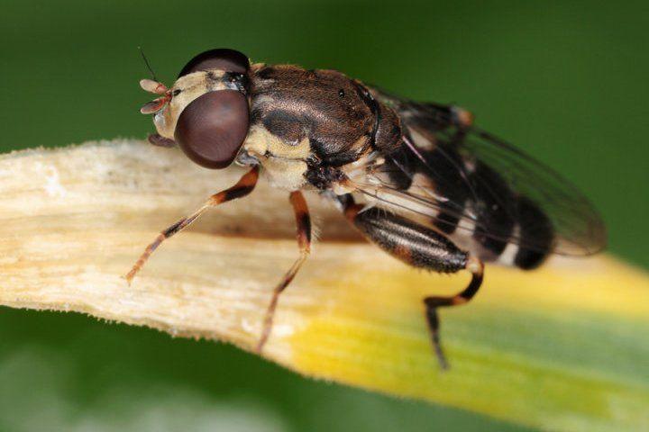 Луковая муха — как бороться
