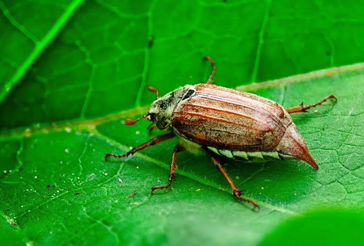 отличие майского жука от медведки