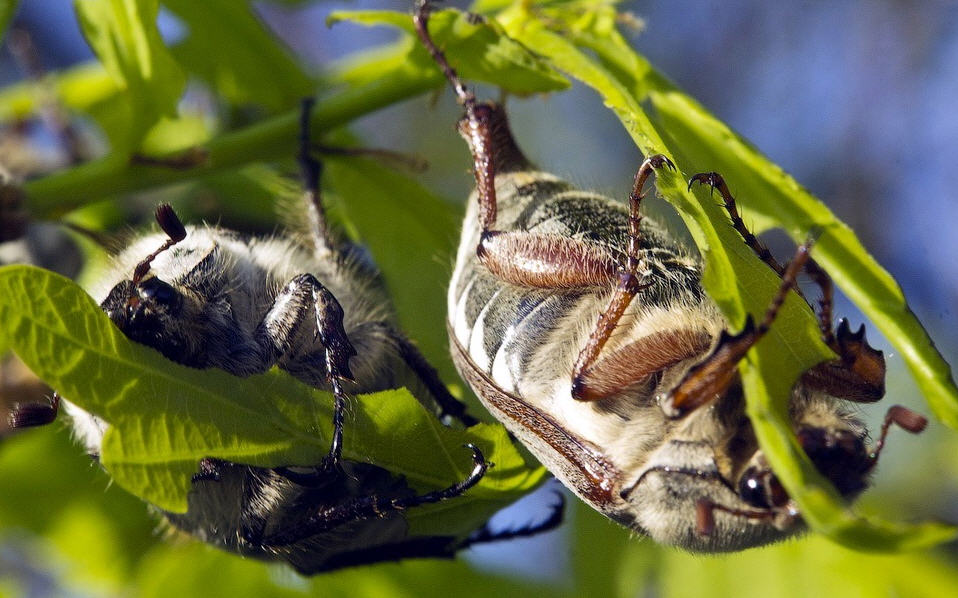 Как бороться с майским жуком