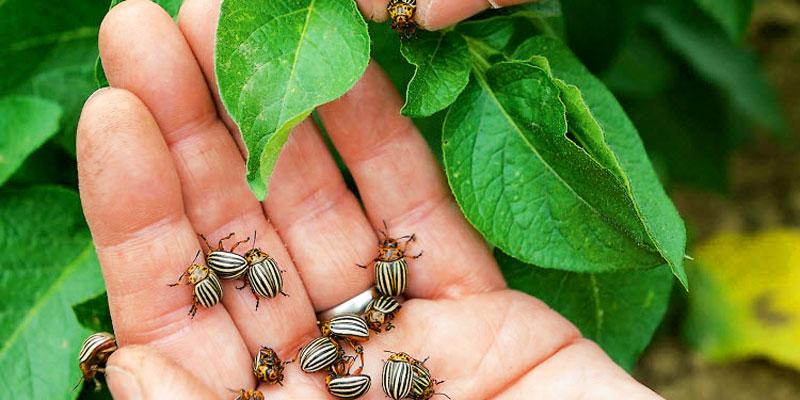 колорадские жуки на руке