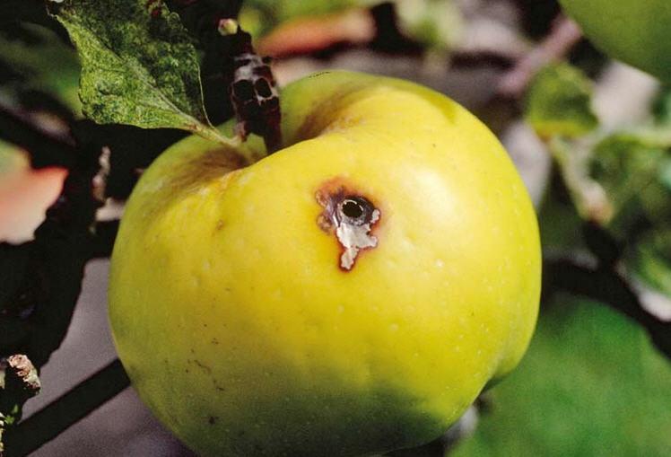 Как бороться с плодожоркой на огороде