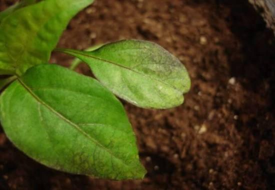 скручиваются листья у рассады перца