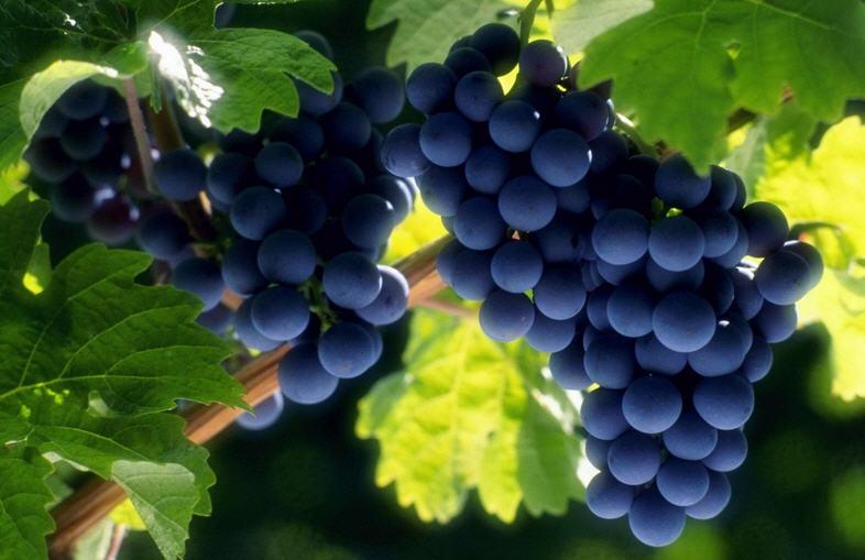 классификация винограда
