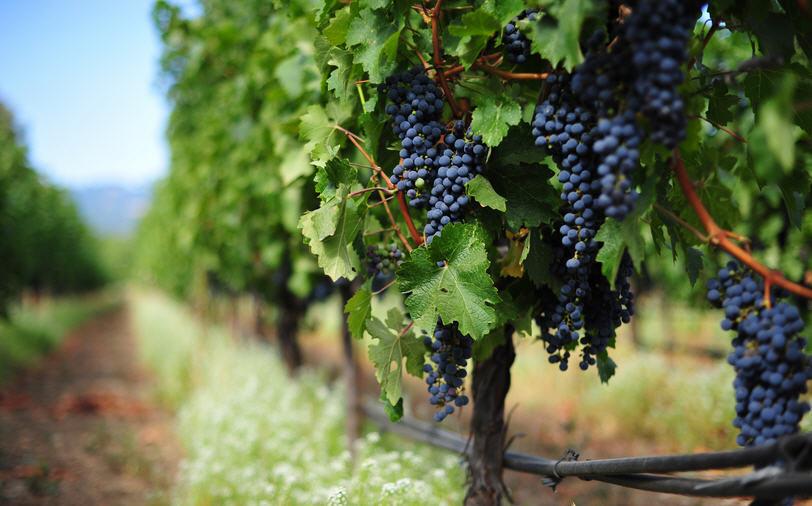 Виноград – польза и вред, хранение