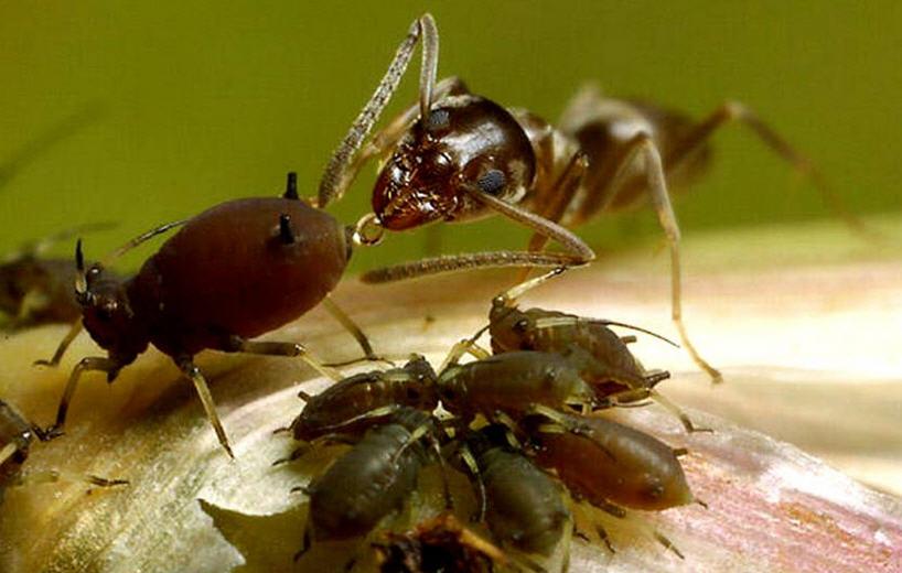 муровьи и тля