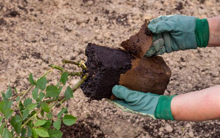 Как посадить розы с закрытой корневой системой