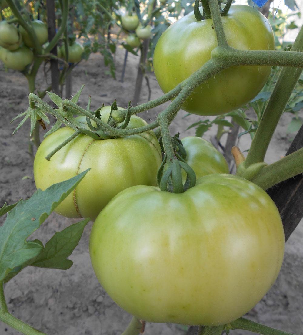 Профилактика и борьба с фитофторозом томатов