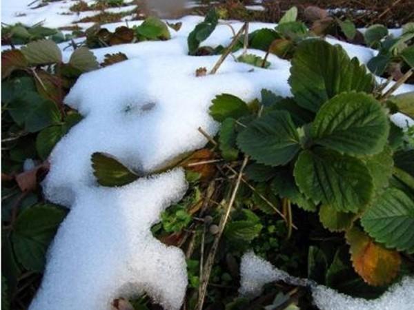как утеплить клубнику на зиму