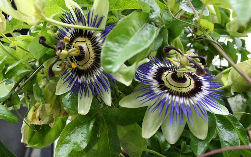 Страстоцвет или (пассифлора): описание, полезные и лечебные свойства