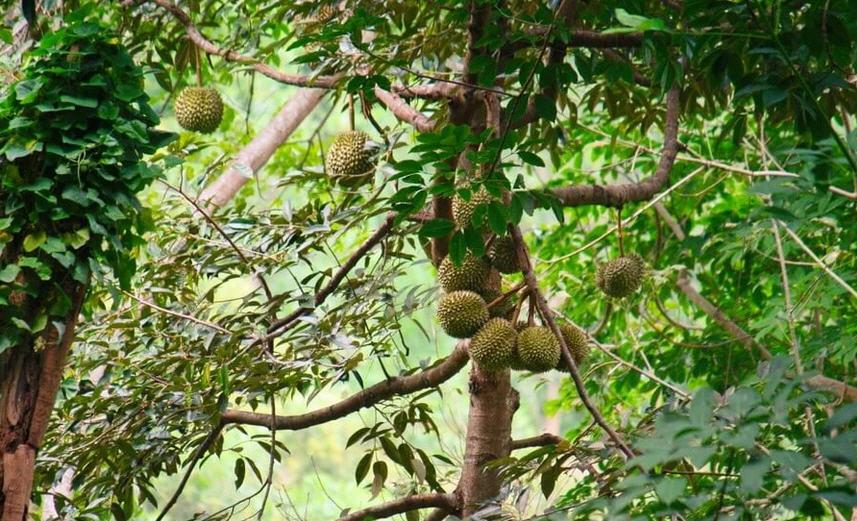 вечно зеленое дерево дуриан