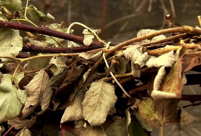 Осенняя обработка малины – основа отличного урожая