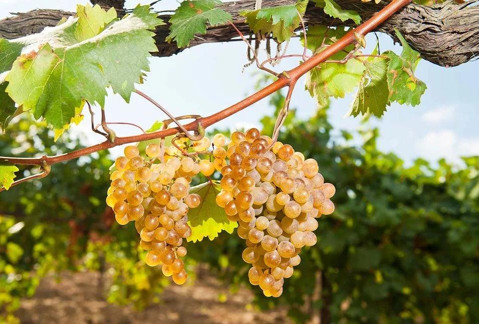 Как самостоятельно вырастить виноград жителю средней полосы России