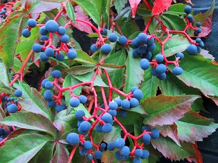 Дикий виноград: уход и размножение