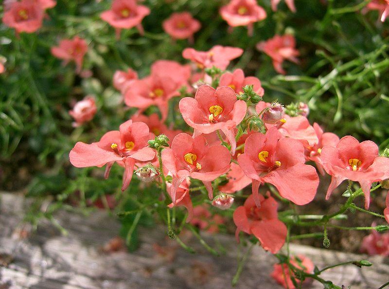 Диасция: выращивание и размножение