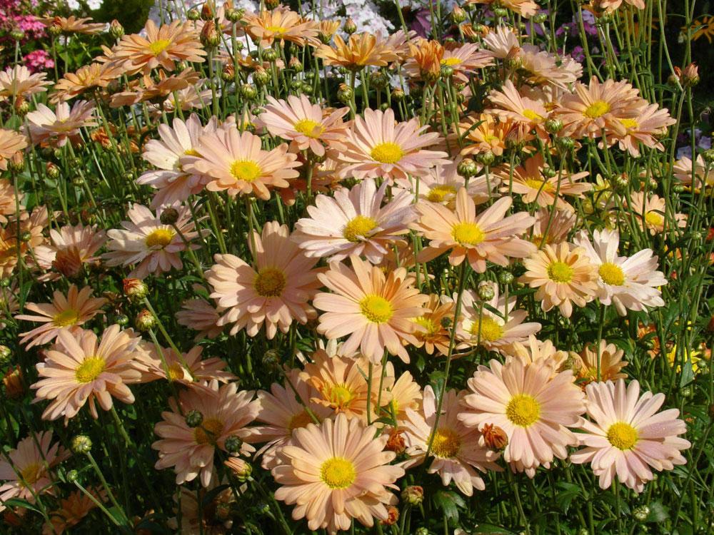 Хризантемы: точка зрения садоводов и ботаников