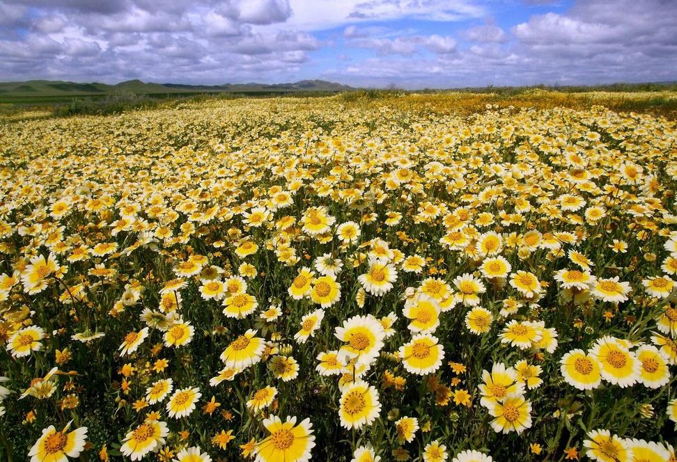 поле хризантем