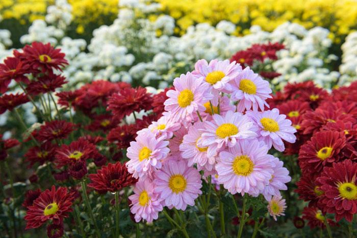 Растущие в любительских садах сорта представляют собой сложную смесь