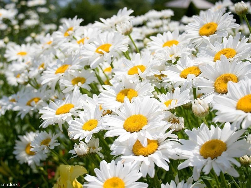 Нивяник, или белая ромашка - традиционный символ лета.