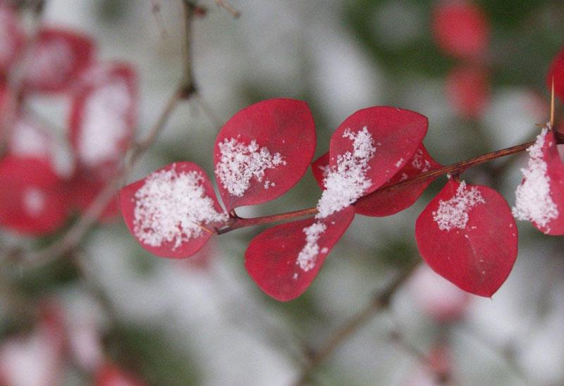 Среди барбарисов есть как листопадные, так и вечнозеленые кустарники