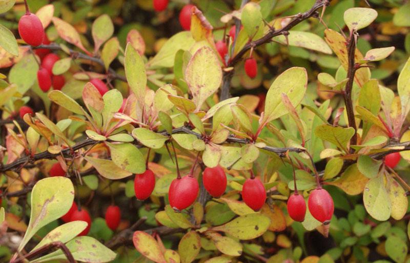 У барбариса Тунберга (Berberis thunbergii) плоды долго сохраняются на ветках