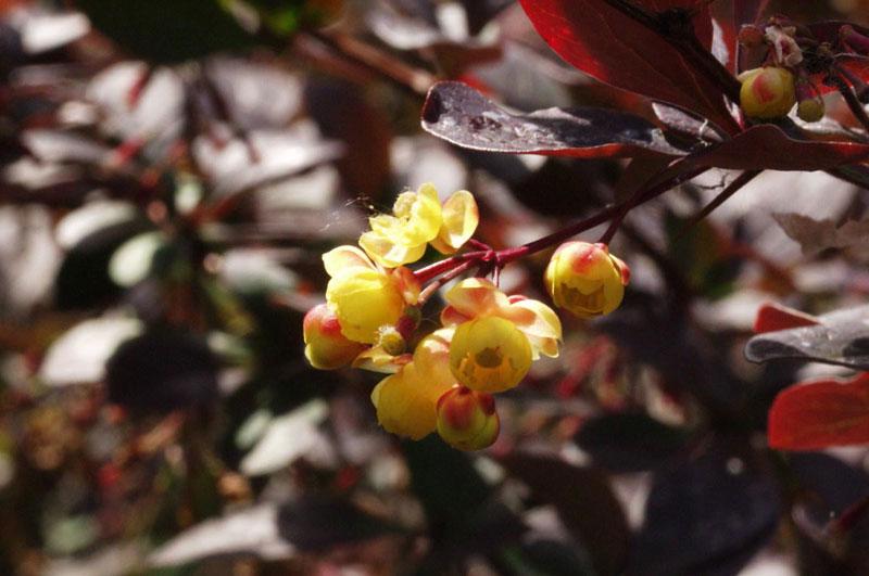 Барбарис оттавский (Berberis x ottawiensis)