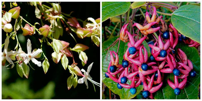 Клеродендрум трехвильчатый в цветении. Он же в плодоношении.
