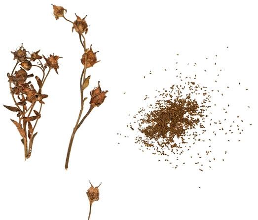 семена камнеломки