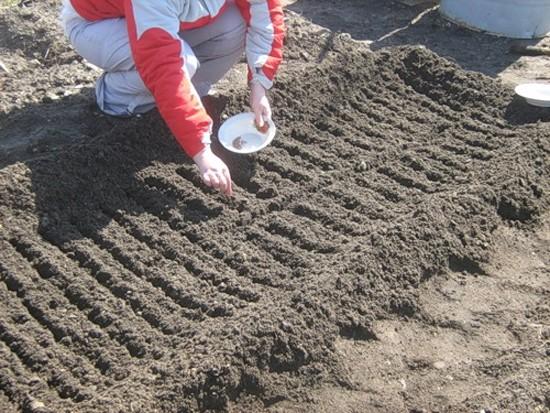 Как правильно посадить редис