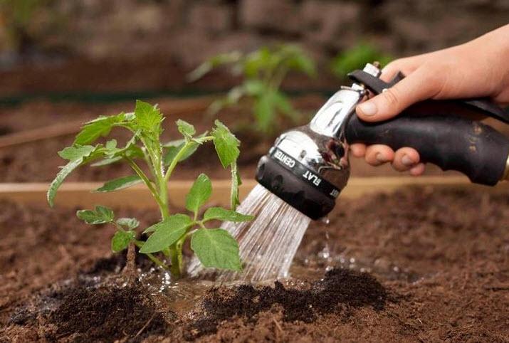 как поливать томаты в 2108 году