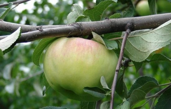 Сорт яблони Богатырь – выращивание и посадка яблони
