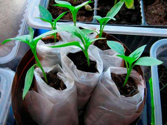 Как вырастить рассаду в пеленках