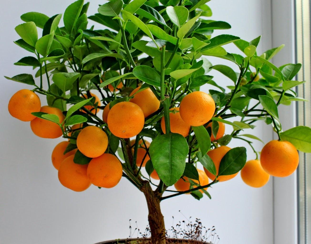 Как вырастить цитрусовые в домашних условиях