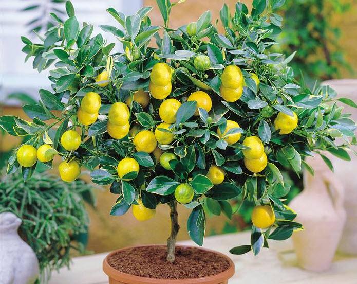 Как вырастить лимон в комнате