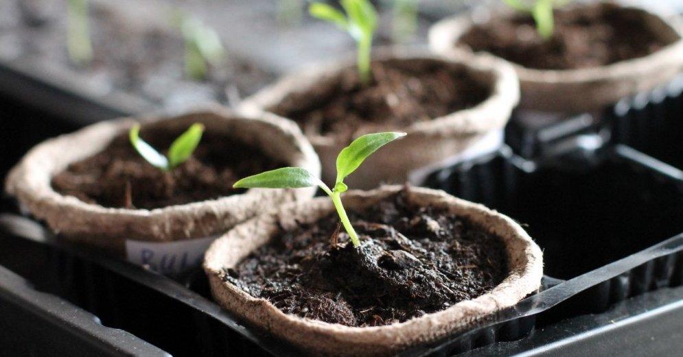 Как вырастить идеальную рассаду