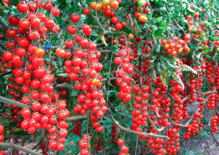 Сорт помидор Свит черри f1