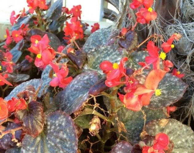 мучнистая роса на цветах