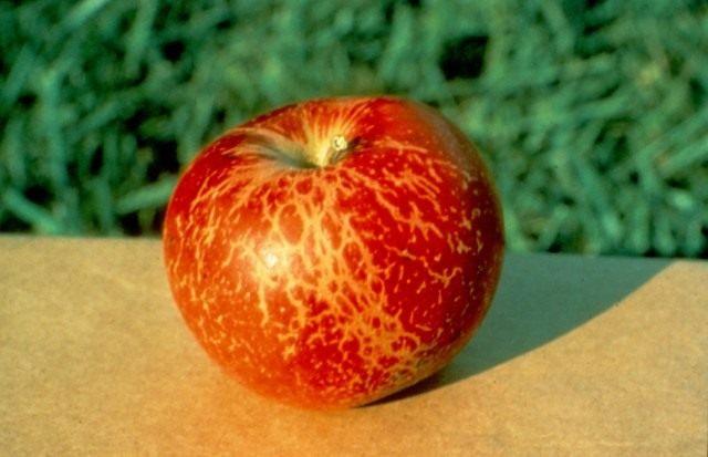яблоко пораженное мучнистой росой