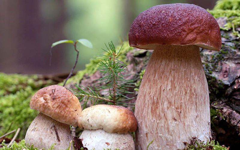 Съедобные грибы Сибири: где растут, как собирать