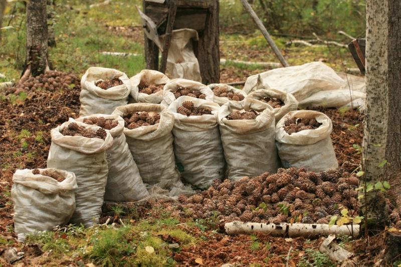 Кедровые орехи - способы сбора и переработки